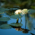 Waterlilies Serenity-1