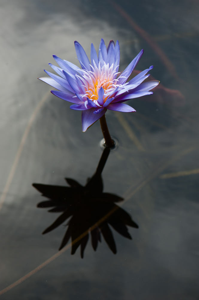 Waterlilies Stand alone-1