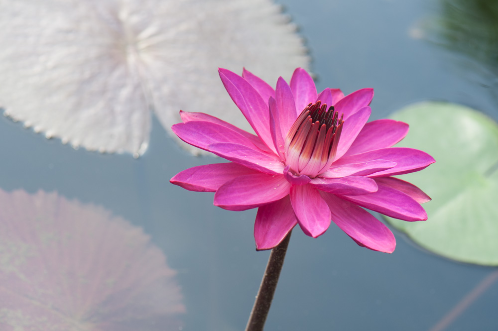 Waterlilies pink-1