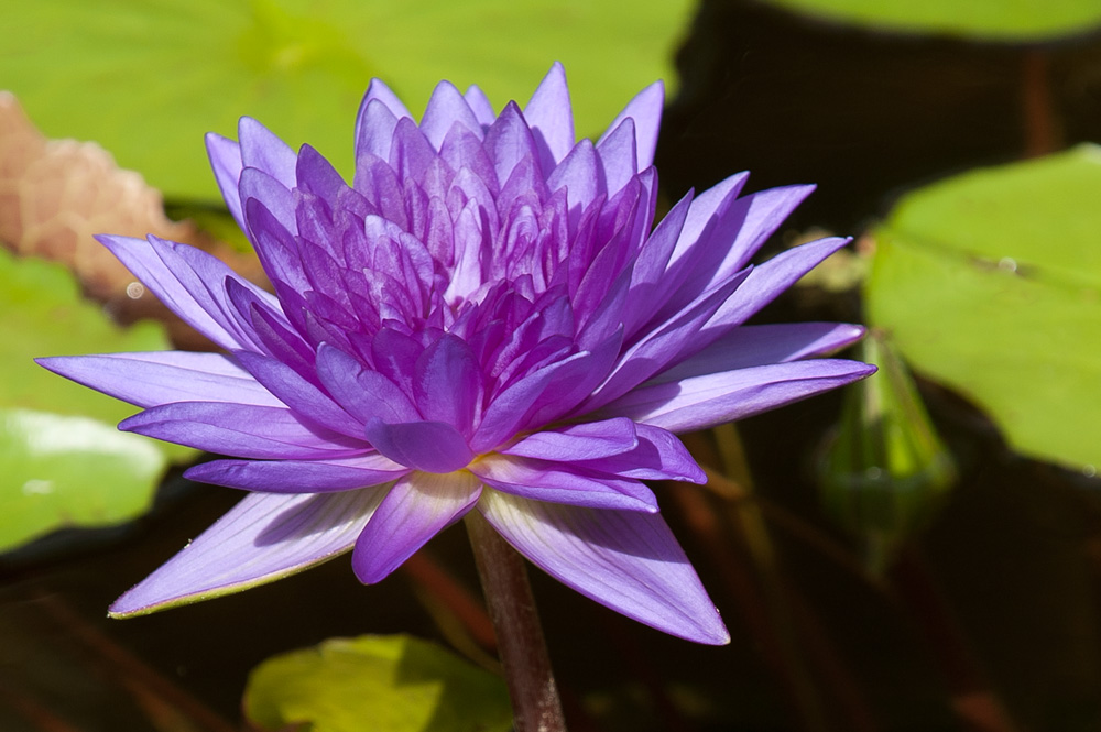 Waterlilies purple-1